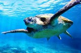 Green Turtle in der Nähe von Lady Elliot Island von Global Spot GmbH c/o Tourism Queensland