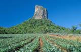 Ananasplantage im Glass House Mountains Nationalpark Nähe Brisbane von Tourism Queensland c/o Global Spot