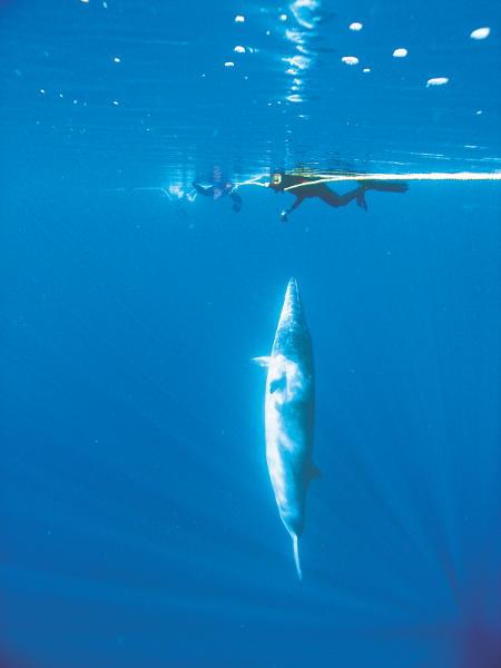 Taucher trifft Zwergenwal