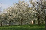 Wandern in einer blühenden Naturlandschaft - Kirschbaumblüte im Eggenertal