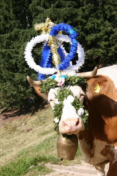 Kuh-Königin beim Almabtrieb in Sachrang