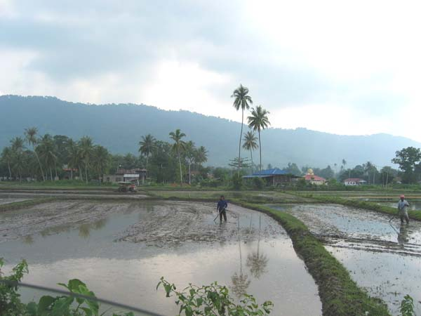 Paddy fields in Langkawi, Malaysia Picture taken by Dave Sumpner