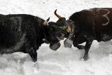 Ringkuhkampf im Schnee
