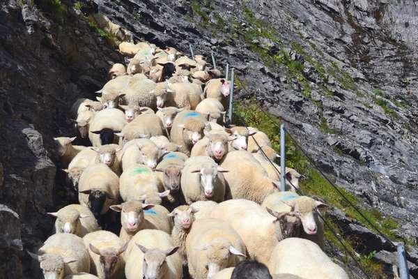 Die Schafe auf dem Gemmiweg